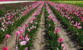 Поле тюльпанов в ферме. — Стоковое фото