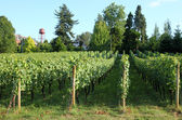 Urban grape orchard, Troutdale OR. — Stock Photo