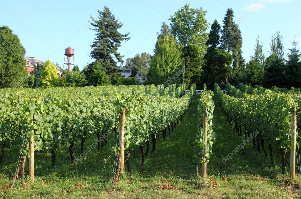 Urban grape orchard, Troutdale OR. — Stock Photo © Rigucci ...