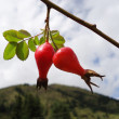 Rosehip — Stock Photo #6633242