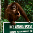 Stock Photo: Laughing Orang-Utan
