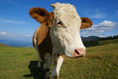 Cow at mountain pasture — Stock Photo