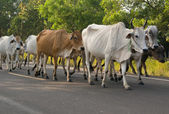 Cows on a road — Stock Photo