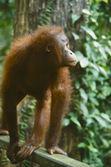Rindo orangotango — Foto Stock