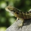 Water Dragon on a rock — Stock Photo