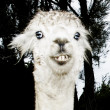 Alpaca — Stock Photo #5786502