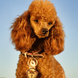 Groomed poodle — Stock Photo