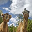 Two camels — Stock Photo #5788066