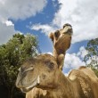 Stock Photo: Two camels looking