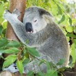 Koala sleeping in eucalypt tree - Stock Photo