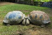 Two turtles kissing — Stock Photo