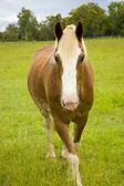 Horse walking towards me in green padock — Stock Photo