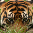 Stock Photo: Tiger eyes