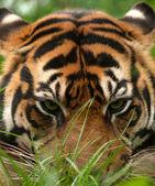 Tiger eyes — Stock Photo