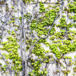 Ivy on gray wall — Stock Photo
