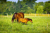 Small Horse on american farm — Foto Stock