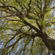 Willow treetop at spring — Stock Photo