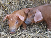 Cute piglets — Stock Photo
