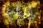 синий спелый виноград nebbiolo — Стоковое фото