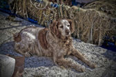 A fishermans sleepy dog by the boat - Grado, Italy. Soft focus. — Stock Photo