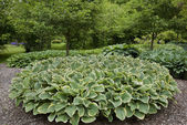 Hosta in June — Stock Photo