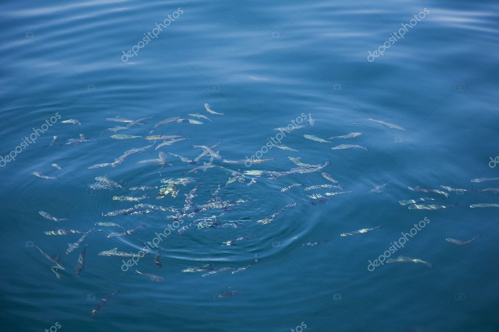 A shoal of small fish just below the surface of the Adriatic Sea, Croatia. — Stock Photo #6573967
