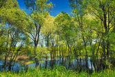 Tapeta stromů v bažinách poblíž narew river, Polsko — Stock fotografie