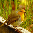Royalty-Free Stock Photo: Robin.