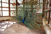 Peacock with a fantail — Stock Photo