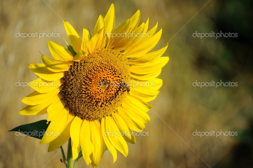 A sunflower in the garden — Stock Photo #6262274