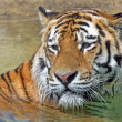 Bengal Tiger — Stock Photo #5798876
