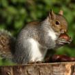 Grey Squirrel — Stock Photo #5798886
