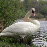 Mute Swan — Stock Photo #5806032