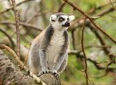 Ring Tailed Lemur — Stock Photo