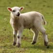 Stock Photo: Spring Lamb