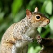 Grey Squirrel — Stock Photo #5822565