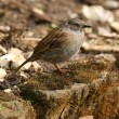 Dunnock — Stock Photo