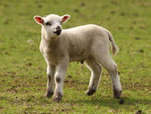 Spring Lamb — Stock Photo
