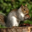 Grey Squirrel — Stock Photo #5830948