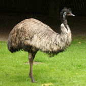 Male Emu — Stock Photo