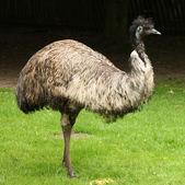 Male Emu — Stock Photo