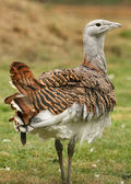 Great Bustard — Stock Photo