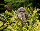 Tawny Frogmouth Owl — Stock Photo