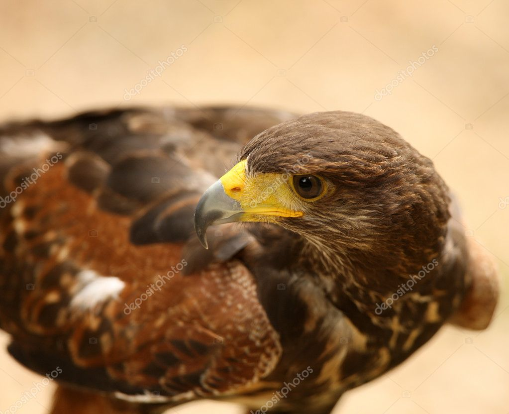 Portrait of a Harris Hawk  Stock Photo #5837308