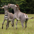 Fighting Zebra — Stock Photo