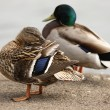 mallard duck — Stock Photo #5842762