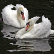 Stock Photo: Mute Swans