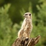 Meerkat — Stock Photo #5842824