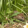 Brown Rat — Stock Photo #5842929
