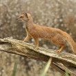 Stock Photo: Yellow Mongoose